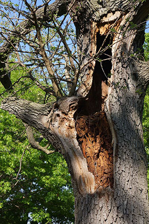 Hazardous Tree Assessment - Hollow Tree