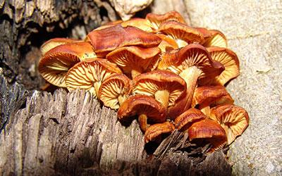 tree-fungus-Diseases