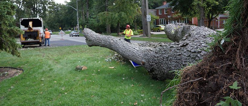 Tree removal of large trees in Windsor and Essex County